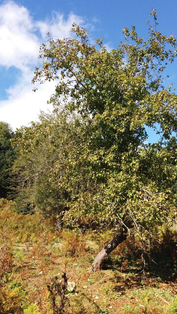 Άγρια μηλιά στη Δίρφυ | www.lightgear.gr